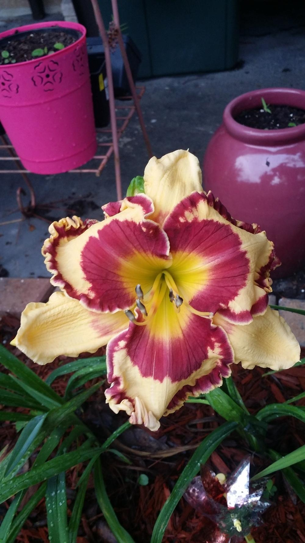 Photo of Daylilies (Hemerocallis) uploaded by Kalix
