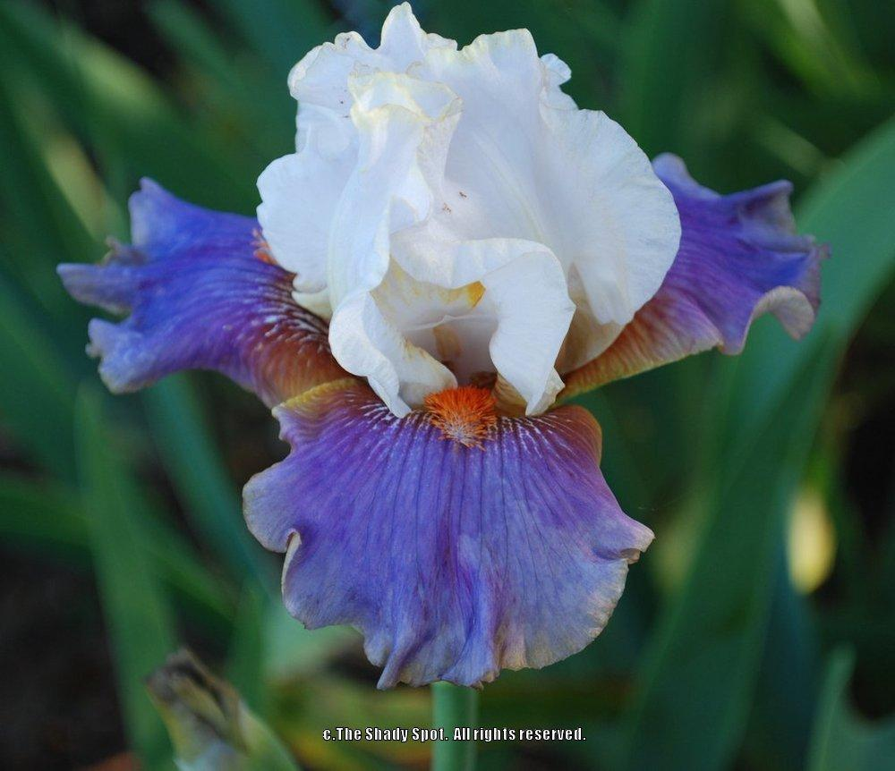 Photo of Tall Bearded Iris (Iris 'Get the Camera') uploaded by lovemyhouse