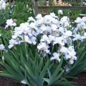 photo of the bloom of tall bearded iris iris queen s circle