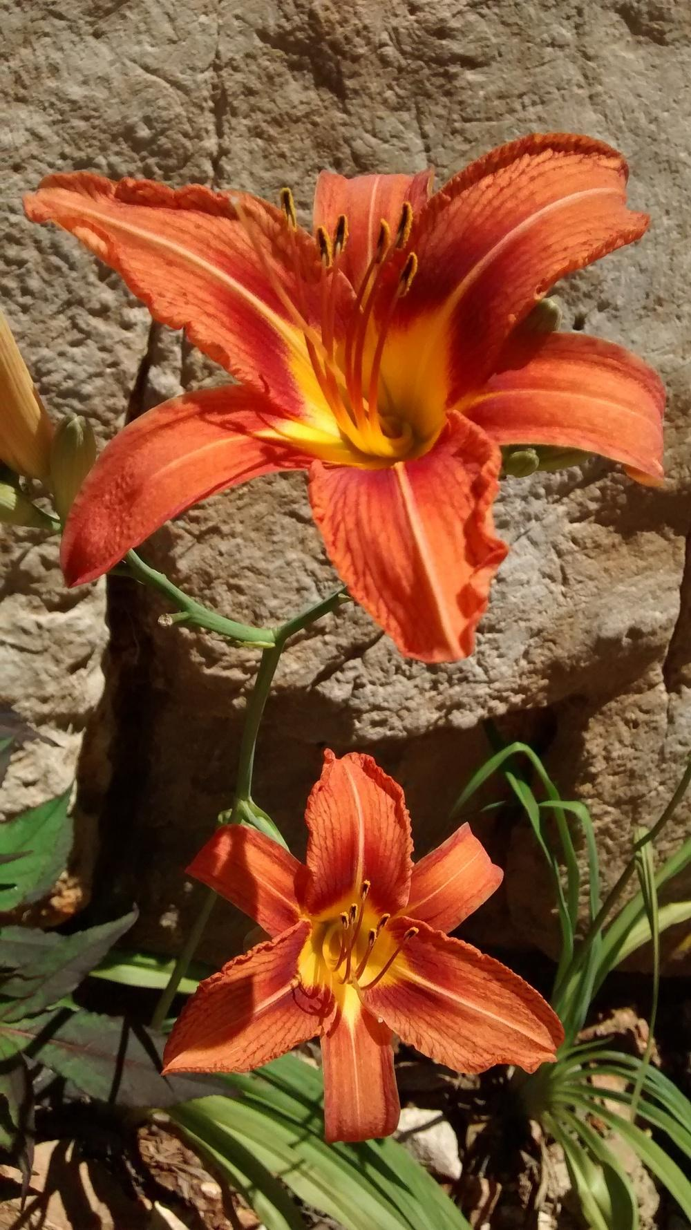 Photo of Ditch Lily (Hemerocallis fulva) uploaded by DraDiana