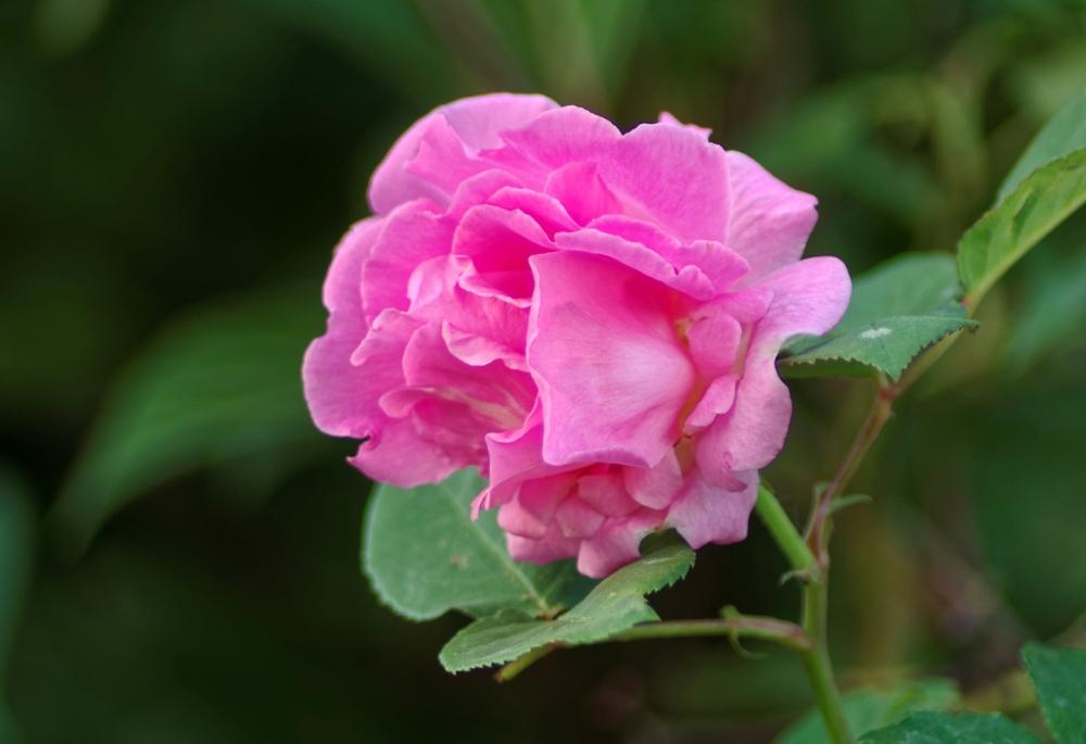 Photo of Rose (Rosa 'Zephirine Drouhin') uploaded by evermorelawnless