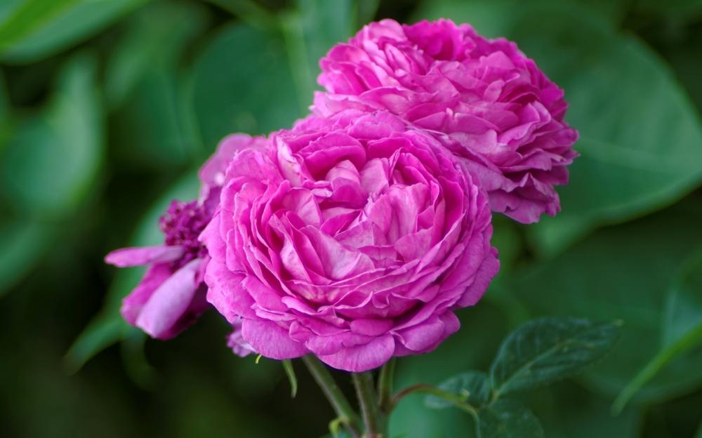 Photo of Rose (Rosa 'Reine des Violettes') uploaded by evermorelawnless