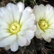 Location: In my collection. Poland.Gymnocalycium gibbosum v. nobile