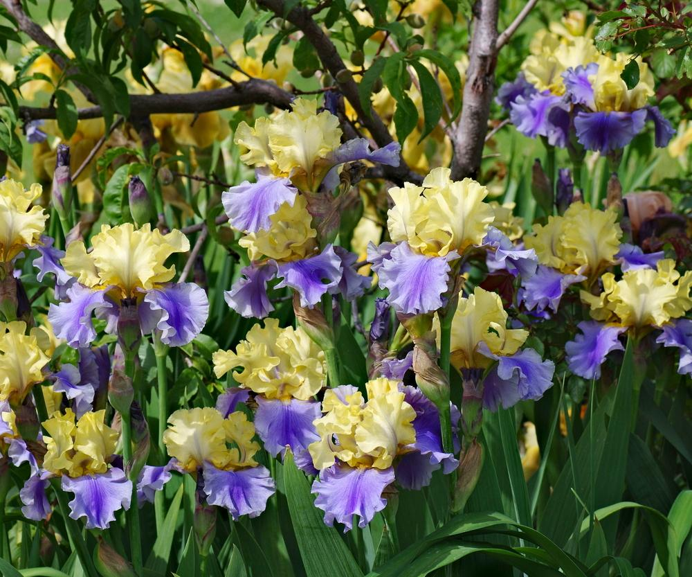 Irises Plant Care And Collection Of Varieties Garden