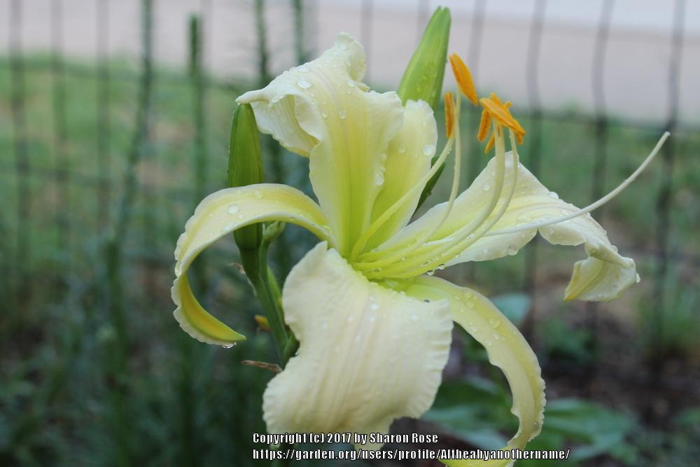 Photo of Daylily (Hemerocallis 'Heavenly Angel Ice') uploaded by Altheabyanothername