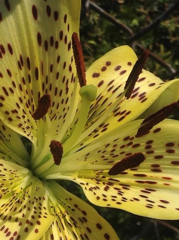 Photo of Lily (Lilium 'Stunning') uploaded by Lilydaydreamer
