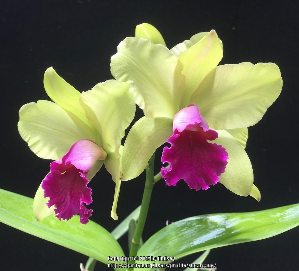 Photo of Orchid (Rhyncholaeliocattleya Yen Surprise 'Seiko') uploaded by sugarcane
