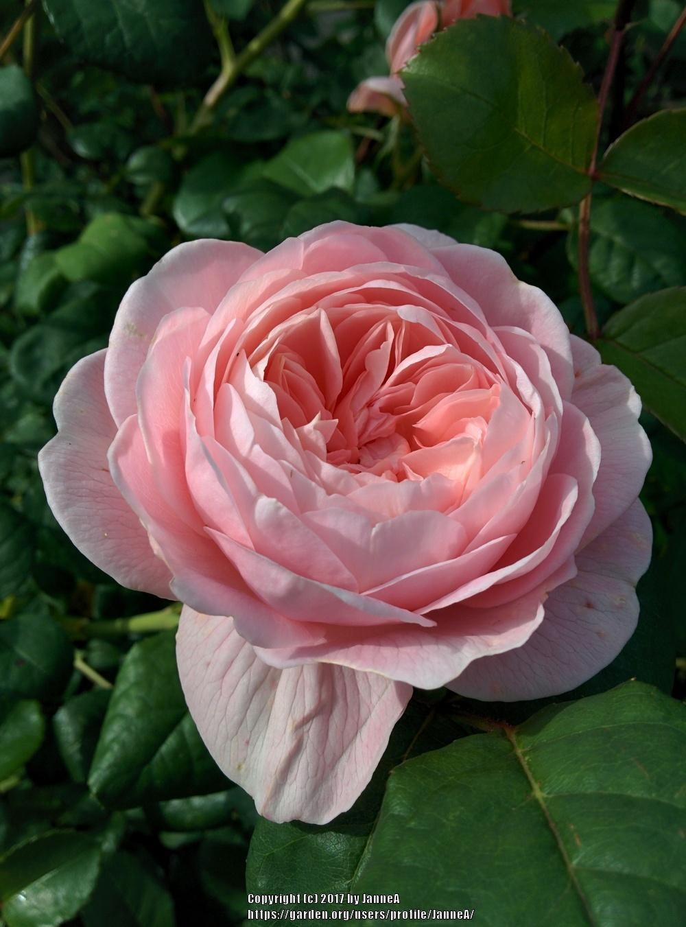 Photo of Rose (Rosa 'Queen of Sweden') uploaded by JanneA