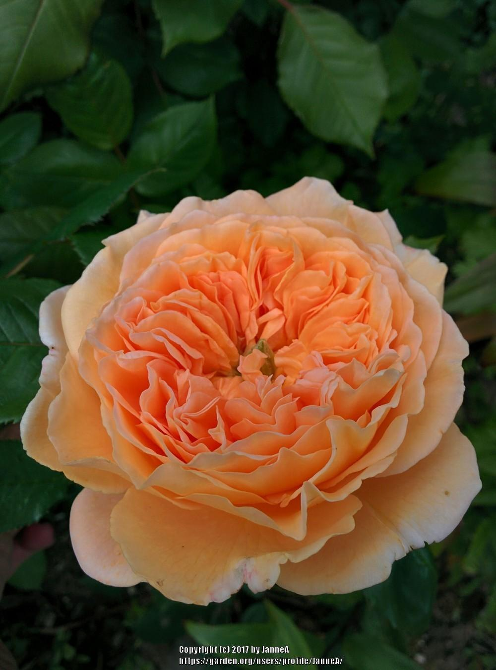 Photo of Rose (Rosa 'Crown Princess Margareta') uploaded by JanneA