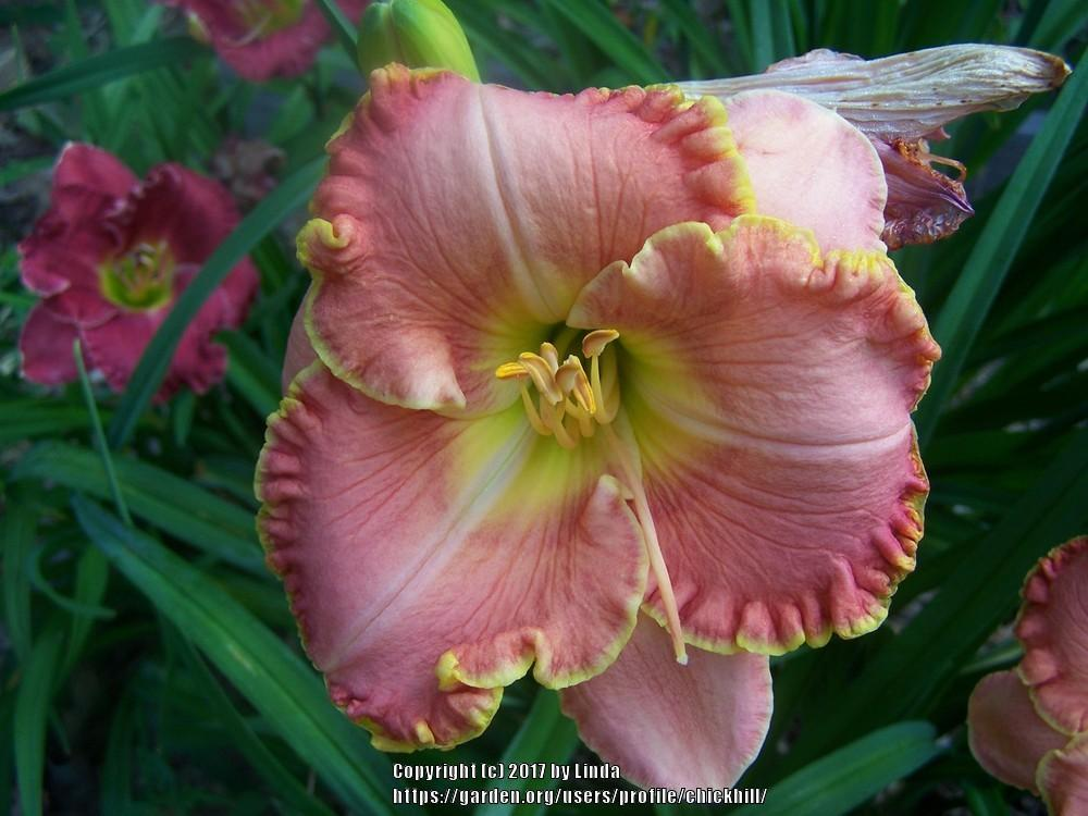 Photo of Daylilies (Hemerocallis) uploaded by chickhill