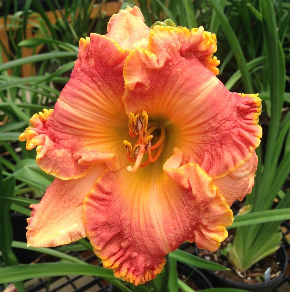 Photo of Daylily (Hemerocallis 'Chang Dynasty') uploaded by Dodecatheon3
