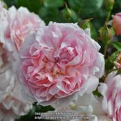Location: Albrighton, EnglandDate: 2014-06-25Photo taken at David Austin Roses