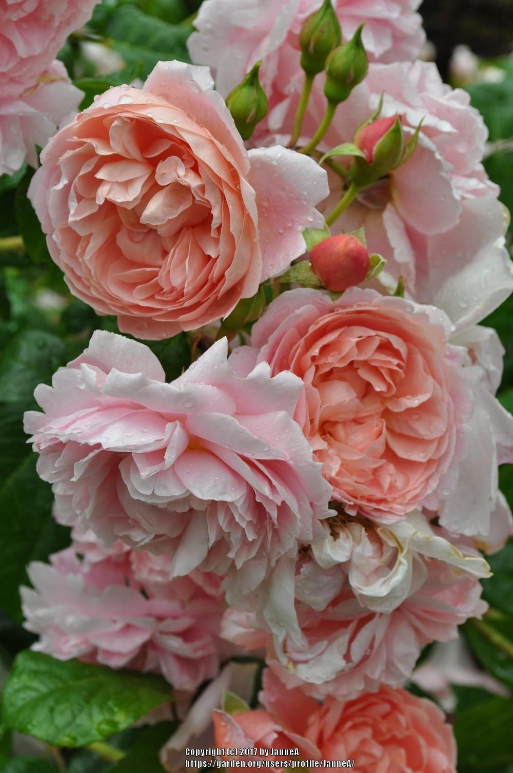 Photo of Rose (Rosa 'Strawberry Hill') uploaded by JanneA