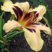 Location: My garden, Pequea, Pennsylvania 17565Date: 2017-06-15First flower ever; purchased via March 2017 not-a-raffle gift cer