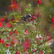 Location: Highland, CADate: 2017-06-14Hummingbirds love lipstick salvia!