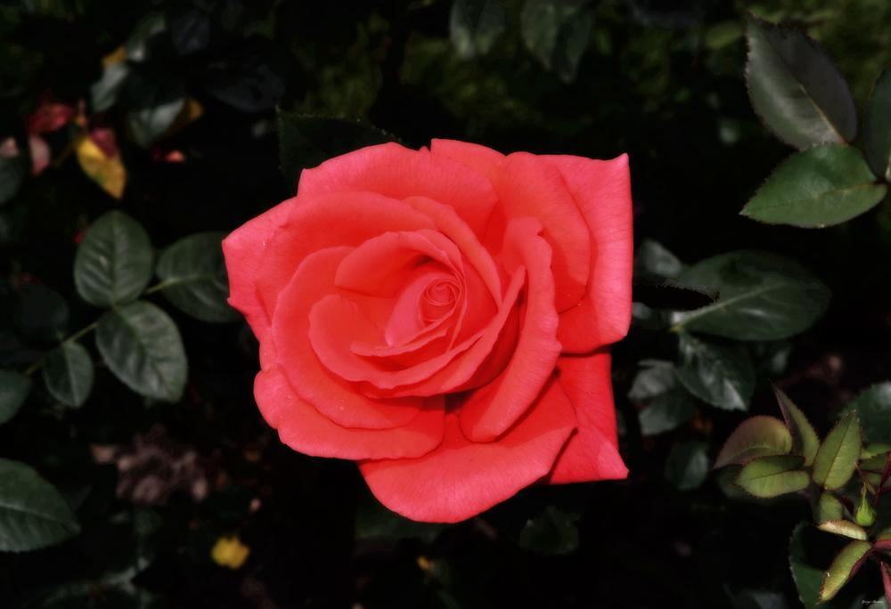 Photo of Rose (Rosa 'Tropicana') uploaded by dawiz1753