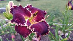 Thumb of 2017-06-17/DogsNDaylilies/7df125