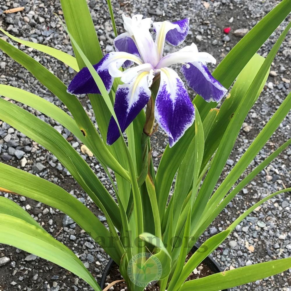 Photo of Species Iris (Iris laevigata 'Colchesterensis') uploaded by Patty