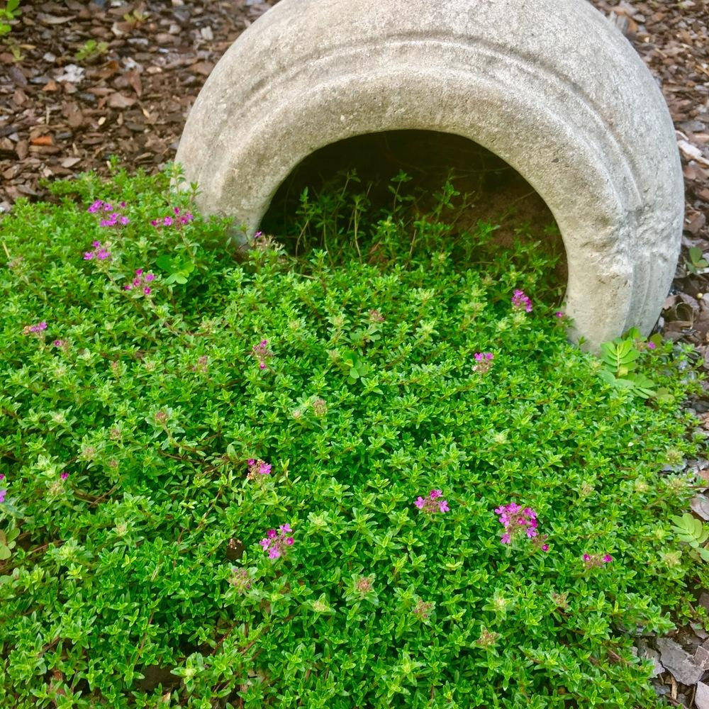 Photo of Red Creeping Thyme (Thymus praecox 'Coccineus Group') uploaded by GaNinFl