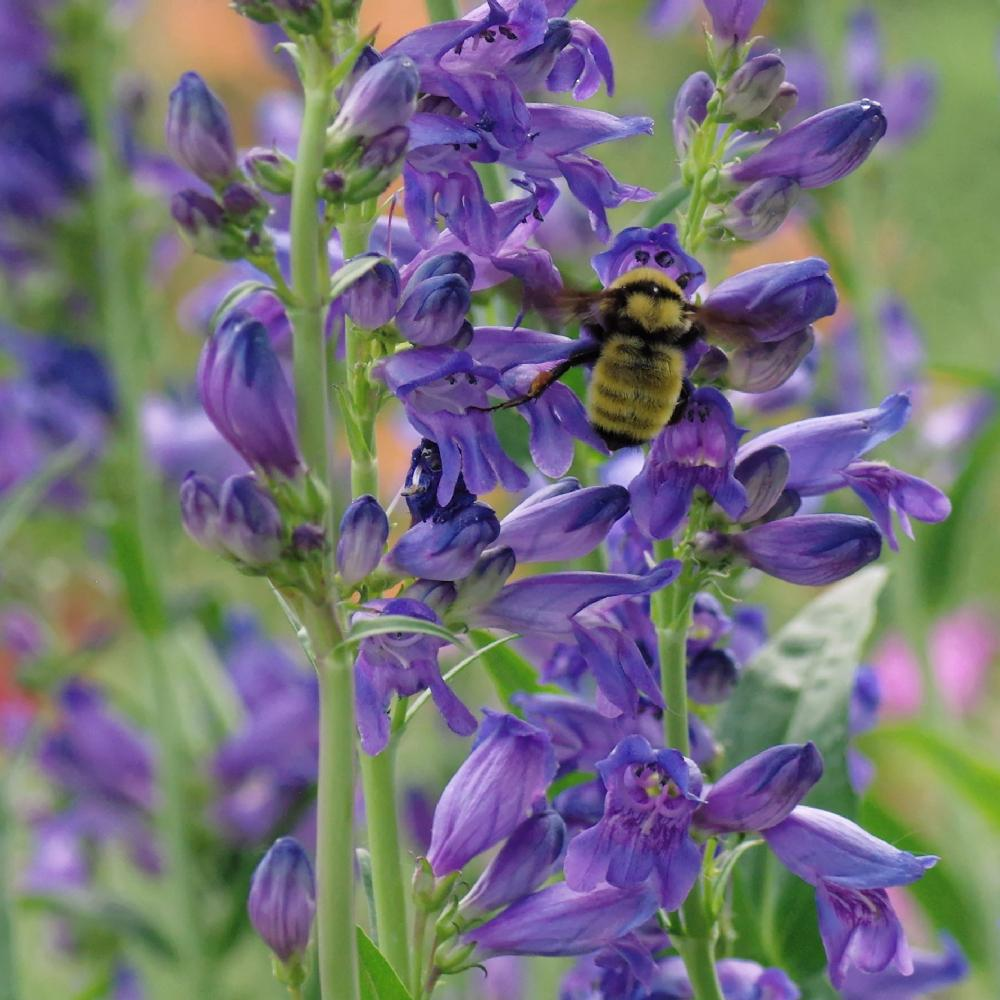 Penstemons Plant Care And Collection Of Varieties Garden