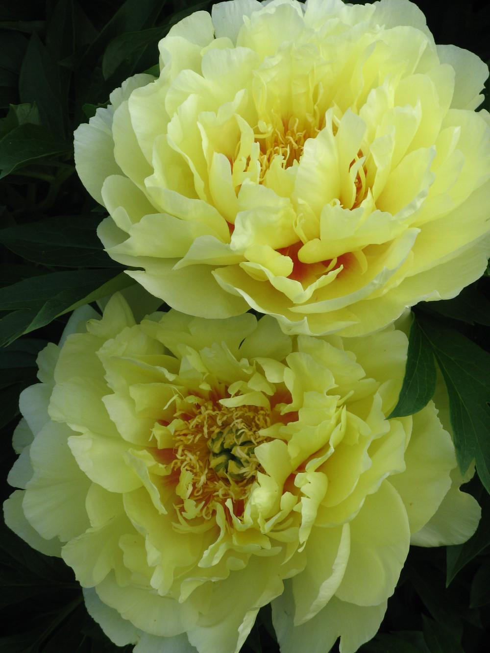 Photo of Intersectional Peony (Paeonia 'Bartzella') uploaded by Ina
