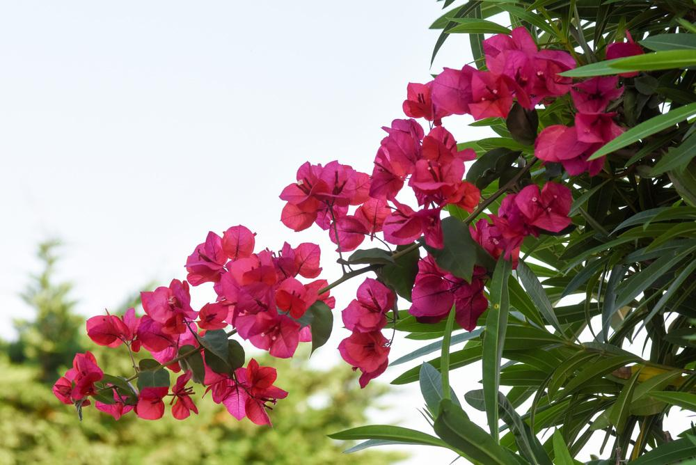 Photo of Bougainvilleas (Bougainvillea) uploaded by cliftoncat