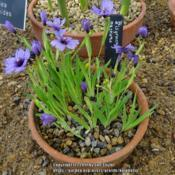 Location: RHS Harlow Carr alpine house, YorkshireDate: 2017-06-17