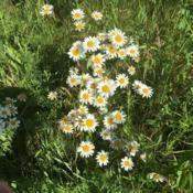 Location: Taken in Lake in the Hills, IL.Date: 2017-06-18These are wild daisies taken on a hike through the preserve off o
