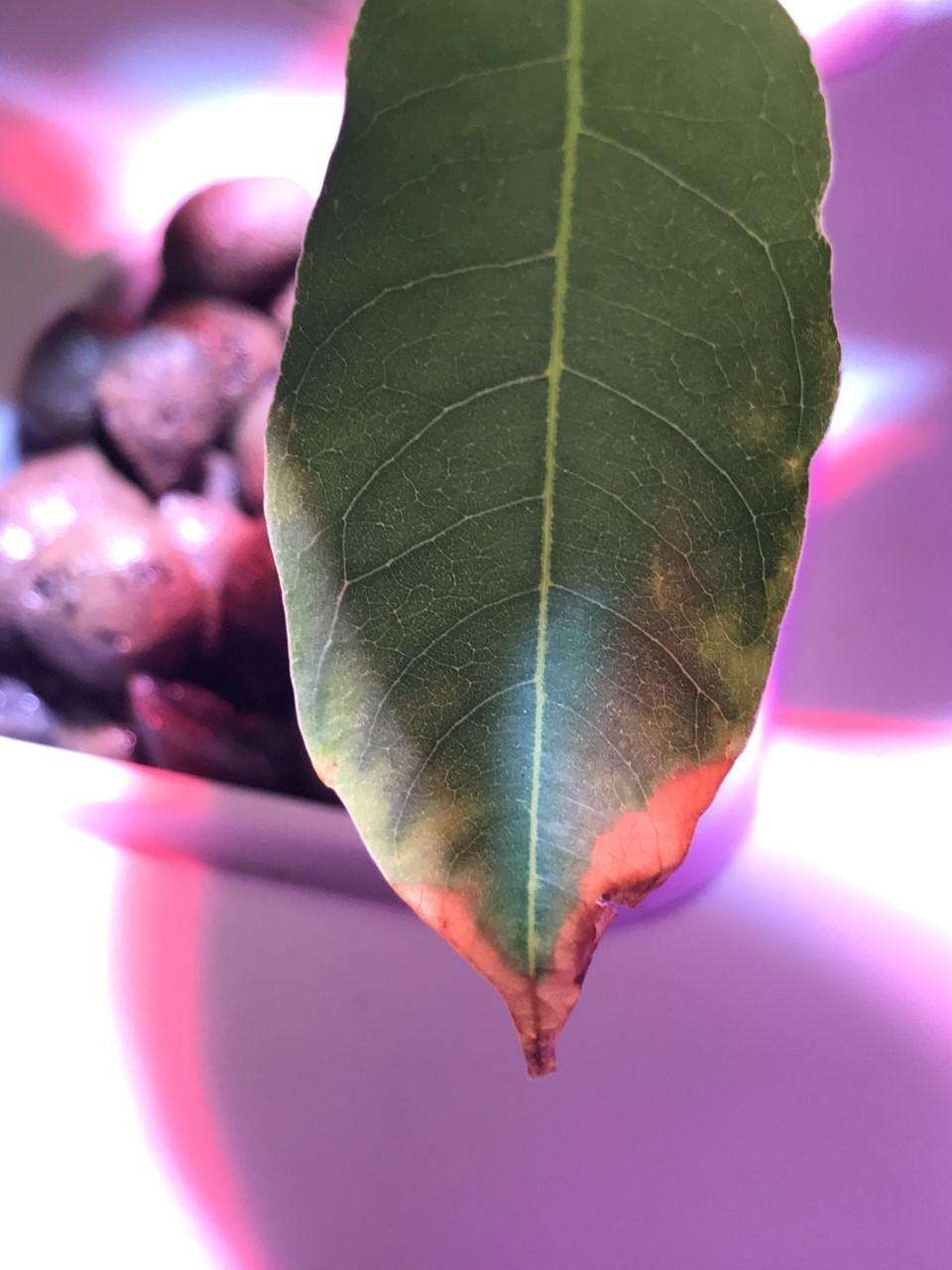 Ask A Question Forum Hydroponic Lychee Tree Leaves Are