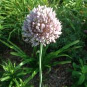 Location: Orangeburg, SCDate: 2017-06-19Allium bloom (NOID)