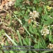Location: In my garden, Falls Church, VADate: 2017-06-20#Pollination - Bee enjoying blooms