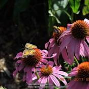 Location: Enterprise, Al. 36330Date: 2017-06-14#Pollination Butterfly and Bee on Purple Coneflower
