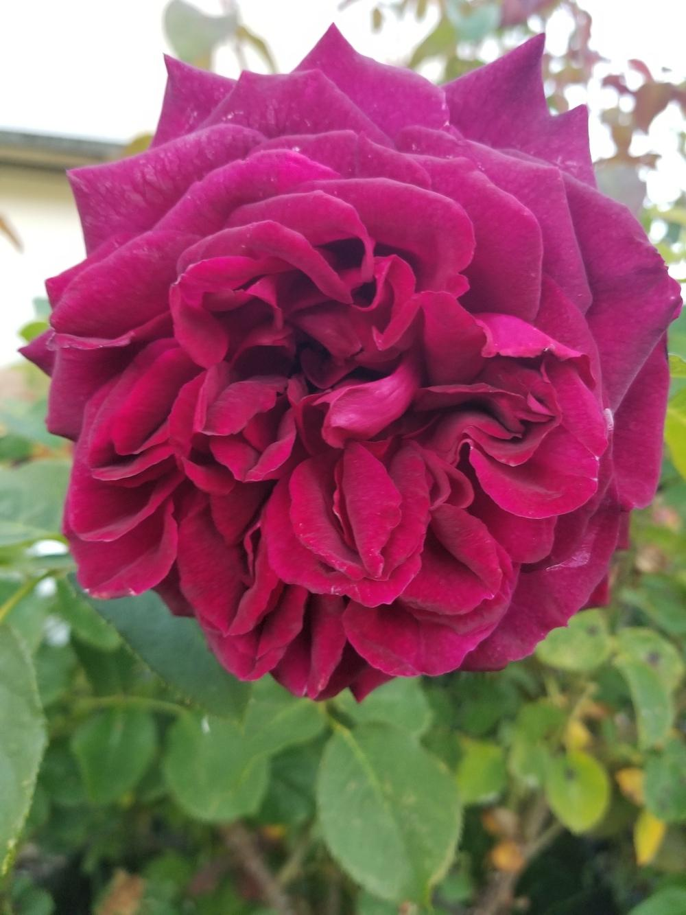 Photo of Rose (Rosa 'Munstead Wood') uploaded by TomThumb