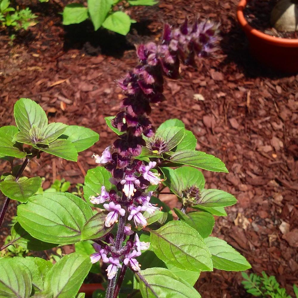 Photo of African Blue Basil (Ocimum 'African Blue') uploaded by amyscoutmom