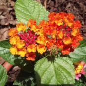 Location: Louisa, VADate: June 2017Lantana is one of my favorites!