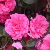 Location: New York Botanical Garden (Peggy Rockefeller Rose Garden), New York, New YorkDate: 2017-06-17