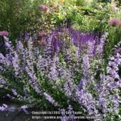 Location: RHS Harlow Carr, Yorkshire, UKDate: 2017-06-17In the scented garden