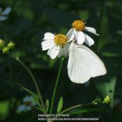 Location: Daytona Beach, FloridaDate: 2015-05-10#Pollination - Great Southern White Butterfly visiting the bloom