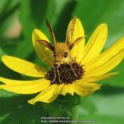 Location: Daytona Beach, FloridaDate: 2015-08-22#Pollination - Skipper Face