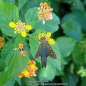 Location: Sebastian, FloridaDate: 2009-09-06#Pollination Long tailed Skipper visiting blooms
