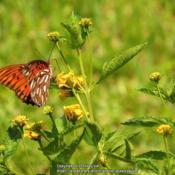 Location: Sebastian, FloridaDate: 2013-07-30#Pollination Gulf Fritillary Butterfly visiting blooms