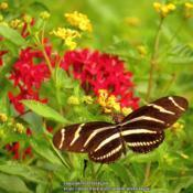 Location: Sebastian, FloridaDate: 2013-08-25#Pollination Zebra Longwing Butterfly visiting bloom (Red Pentas