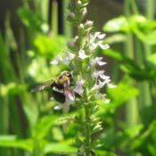 Location: Daytona Beach, FloridaDate: 2010-06-27#Pollination - Bee visiting a bloom