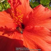 Location: Daytona Beach, FloridaDate: 2014-02-10#Pollination - Bee visiting the bloom