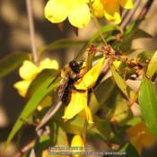 Location: Daytona Beach, FloridaDate: 2014-03-03#Pollination - Bee visiting blooms