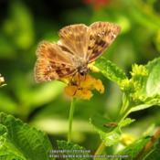 Location: Sebastian, FloridaDate: 2013-08-06#Pollination Skipper visiting a flower