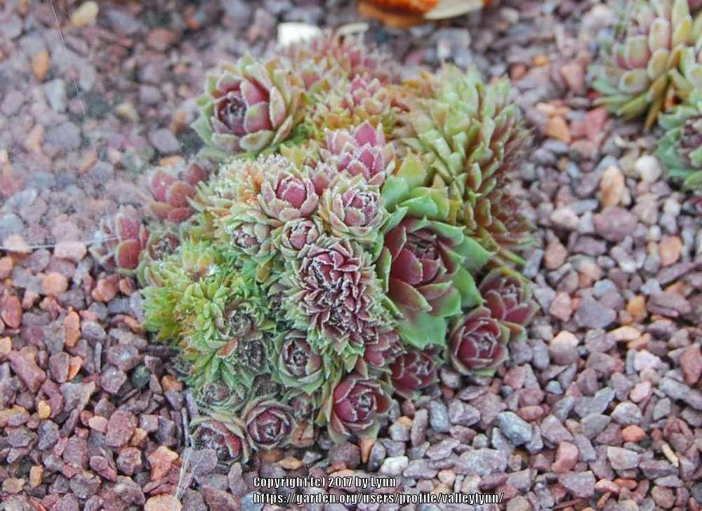 Photo of Hen and Chicks (Sempervivum 'Sopa') uploaded by valleylynn