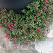 Location: Orangeburg, SCDate: 2017-05-24Portulaca blooms