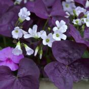 Date: 2017-06-20a/k/a Purple Shamrock and Love Plant