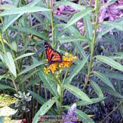 Location: My garden in Northern KYDate: 2007-08-12With a Monarch Butterfly sipping from the flowers. #Pol